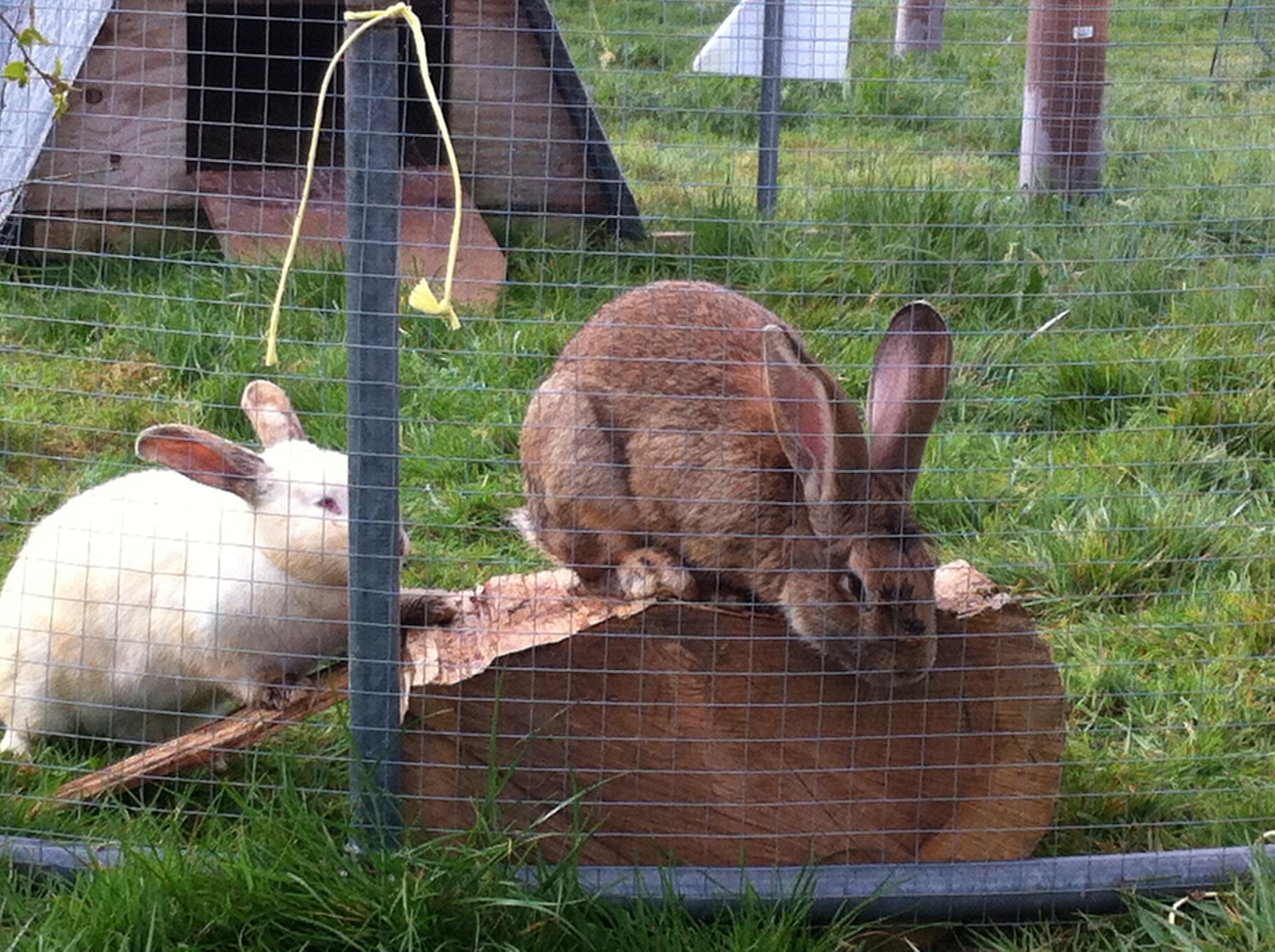 Free range rabbits – Dorset Forest Garden