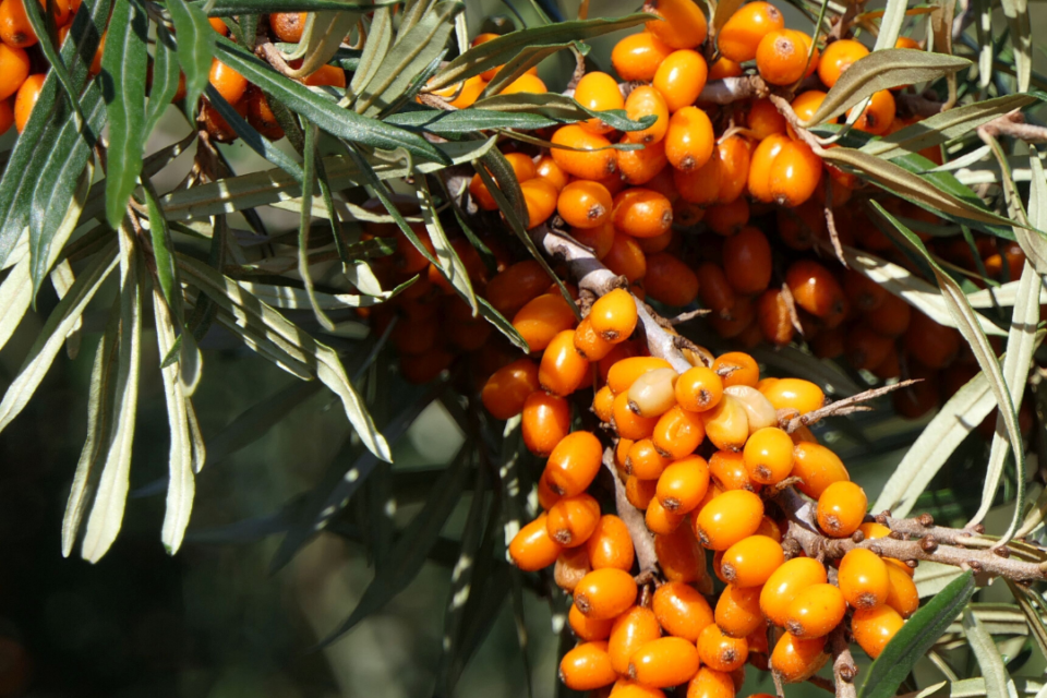 sea buckthorn for anti ageing